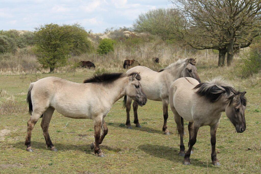 De Konikpaard wilde grazers