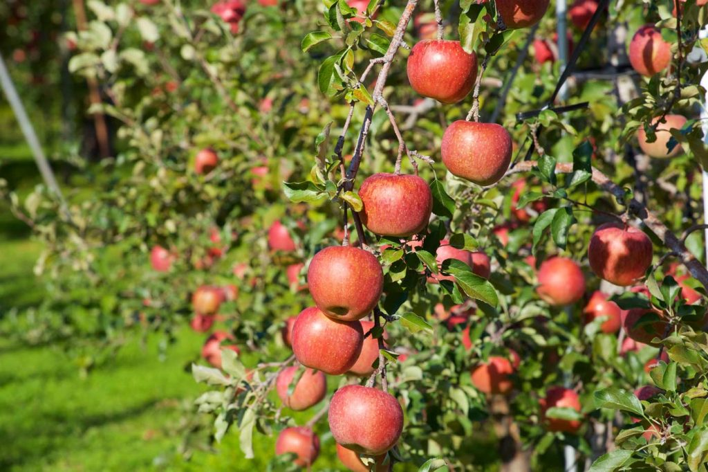 herfstactiviteiten appels plukken